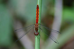 Wandering Percher dragonfly