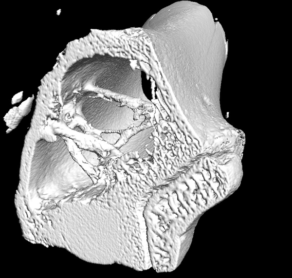 Penn State biomaterials micro CT implants in bone