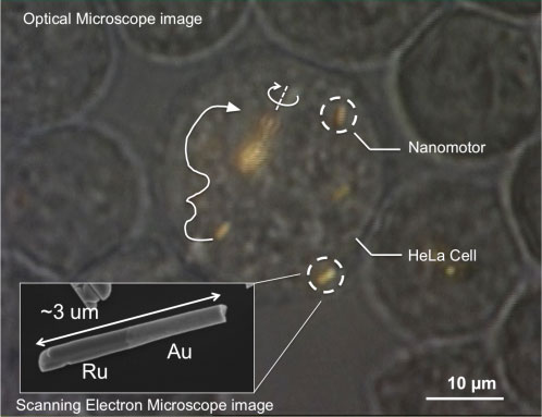 Optical microscope image of a HeLa cell containing several gold-ruthenium nanomotors. Arrows indicate the trajectories of the nanomotors, and the solid white line shows propulsion. Near the center of the image, a spindle of several nanomotors is spinning.  Inset: Electron micrograph of a gold-ruthenium nanomotor. The scattering of sound waves from the two ends results in propulsion. (Courtesy Mallouk lab, Penn State University